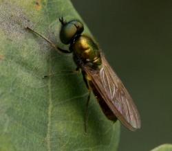 Chloromyia speciosa