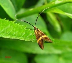 Длинноуска опоясанная (Nemophora degeerella)