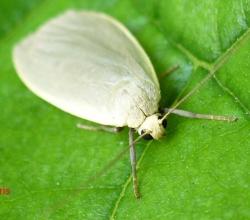 Лишайница сероватая (Eilema griseola)