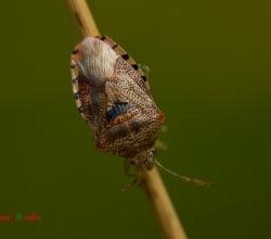 Эласмуха берёзовая (Elasmucha grisea)