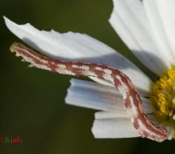Пяденица цветочная удлинённая (Eupithecia centaureata)