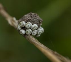 Коконопряд травяной (Euthrix potatoria)