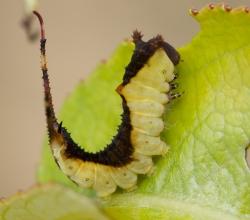Гарпия ивовая (Furcula furcula)