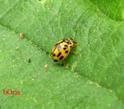 Коровка четырнадцатиточечная (Propylea quatuordecimpunctata)