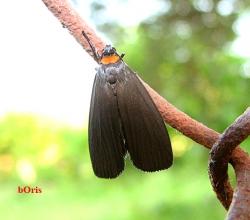 Лишайница красношейная (Atolmis rubricollis)