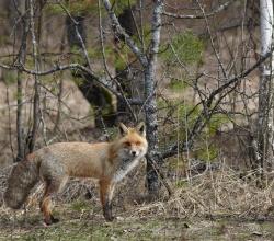 Лисица обыкновенная (Vulpes vulpes)