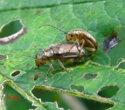 Листоед калиновый (Pyrrhalta viburni)