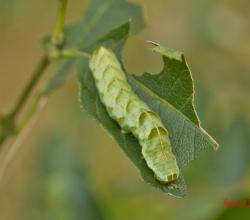 Ночница горцовая (Melanchra persicariae)