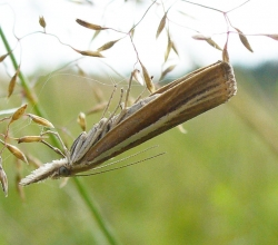 Огнёвка-травянка темноватая (Agriphila selasella)