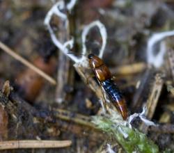 Parabolitobius formosus