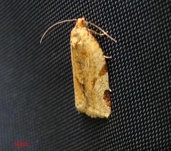 Листовёртка углокрылая (Paramesia gnomana)