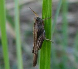 Прыгунчик шиловидный (Tetrix subulata)
