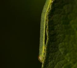 Пяденица окаймлённая (Lomaspilis marginata)