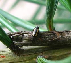 Род Phyllotreta