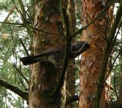 Рябинник (Turdus pilaris)