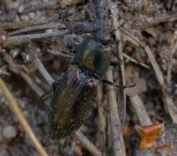 Щелкун блестящий (Selatosomus aeneus)