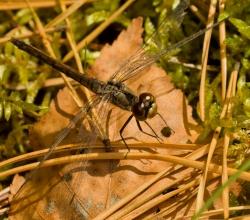 Стрекоза чёрная (Sympetrum danae)