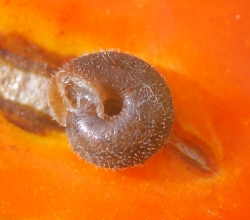 Trochulus hispidus.