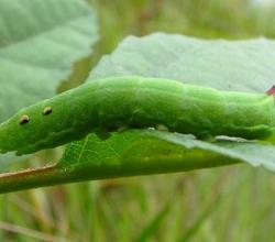 Винный бражник средний (Deilephila elpenor)