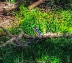 Зимородок обыкновенный (Alcedo atthis)