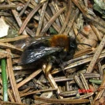Андрена кларкелла (Andrena clarkella)