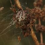 Крестовик обыкновенный (Araneus diadematus)