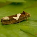 Листовертка полынная (Epiblema Foenella)