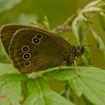 Глазок цветочный (Aphantopus hyperantus)