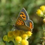Червонец пятнистый (Lycaena phlaeas)