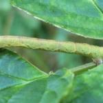 Берёзовая пяденица (Bistort bеtularia)