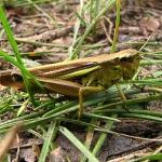 Большая болотная кобылка (Stethophyma grossum)