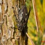 Большая сосновая златка (Chalcophora mariana)