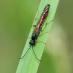 Cephus spinipes