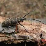 Черный сосновый усач (Monochamus galloprovincialis)