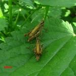 Chorthippus apricarius