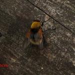 Чёрная навозница желтоволосая (Mesembrina mystacea)