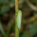 Зелёная цикадка (Cicadella viridis)