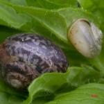 Кустарниковая улитка (Fruticicola fruticum)