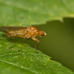 Семейство Heleomyzidae