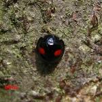Хилокорус почковидный (Chilocorus renipustulatus)