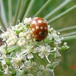 Кальвия четырнадцатипятнистая (Calvia quatuordecimguttata)