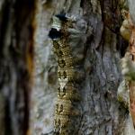 Коконопряд сосновый (Dendrolimus pini)