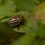 Колорадский жук (Leptinotarsa decemlineata)