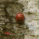 Коровка глазчатая (Anatis ocellata)