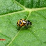 Коровка приметная (Hippodamia notata)