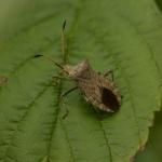 Краевик окаймленный (Coreus marginatus)