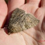 Ленточница красная (Catocala nupta)