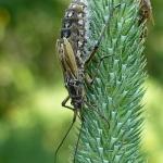 Клоп злаковый луговой (Leptopterna dolabrata)