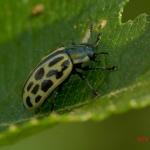 Листоед двадцатиточечный (Chrysomela vigintipunctata)