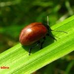 Листоед гладкий (Chrysolina polita)